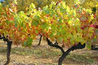 Le Vin des Cévennes (IGP)