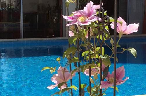 L'Hacienda rosier au bord de la piscine ©
