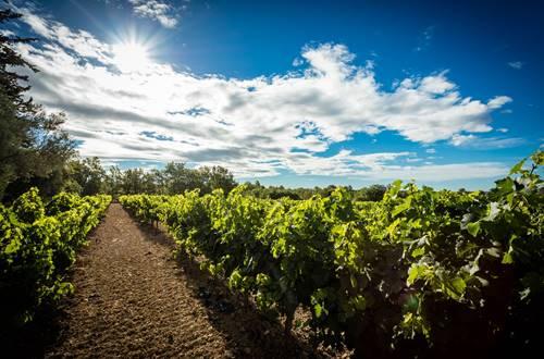 Au cœur des rangs de vignes © 2017-Hervé Leclair Asphéries-Sud de France Développement