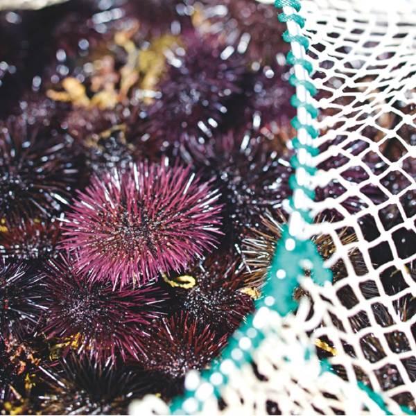 Vente d'oursins - pêche du jour à Collioure